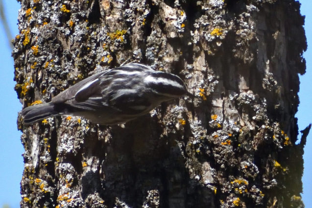 Black-and-white Warbler 5/13/2020