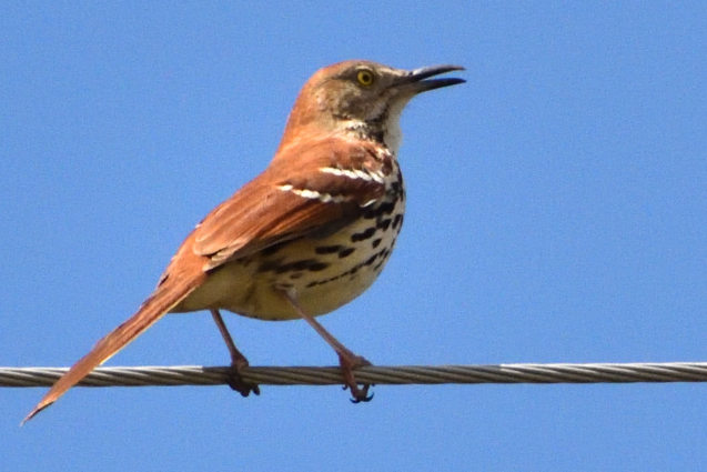 Brown Thrasher 5/14/2020