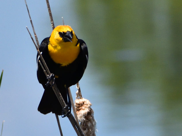 Yellow-headed Blackbird 5/27/2020