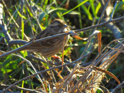 White-throated Sparrow, Sept 29, 2015